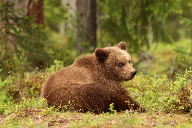 W Czarnobylu pojawiły się niedźwiedzie brunatne.