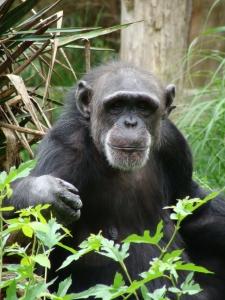 Życie szympansów.