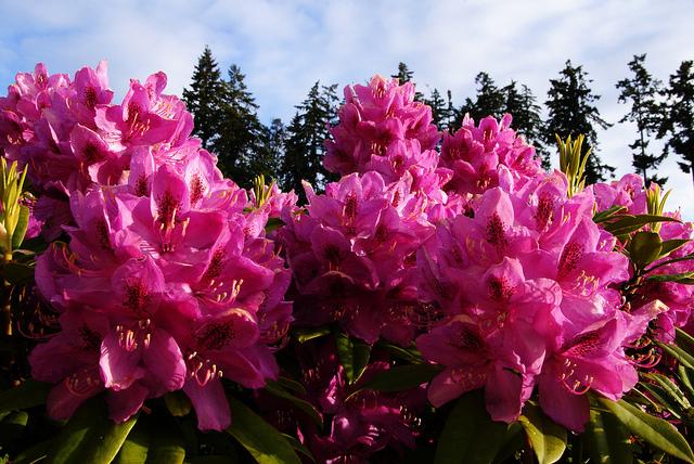 Różaneczniki w przydomowym ogrodzie.